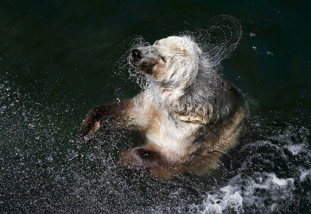 Белый медведь купается в зоопарке Белграда