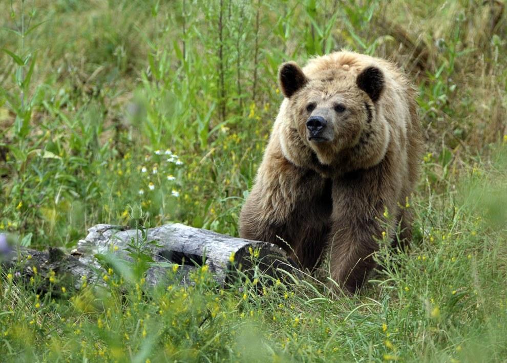Бурый медведь - один из самых крупных и опасных наземных хищников