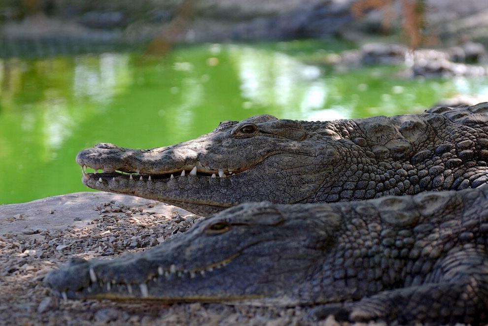 Здесь живут крокодилы…