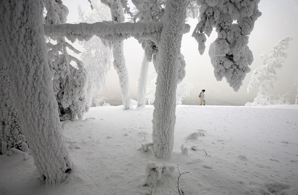 Деревья, покрытые инеем на берегу Енисея
