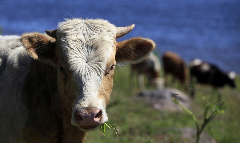 Стадо коров пасется на берегу Енисея