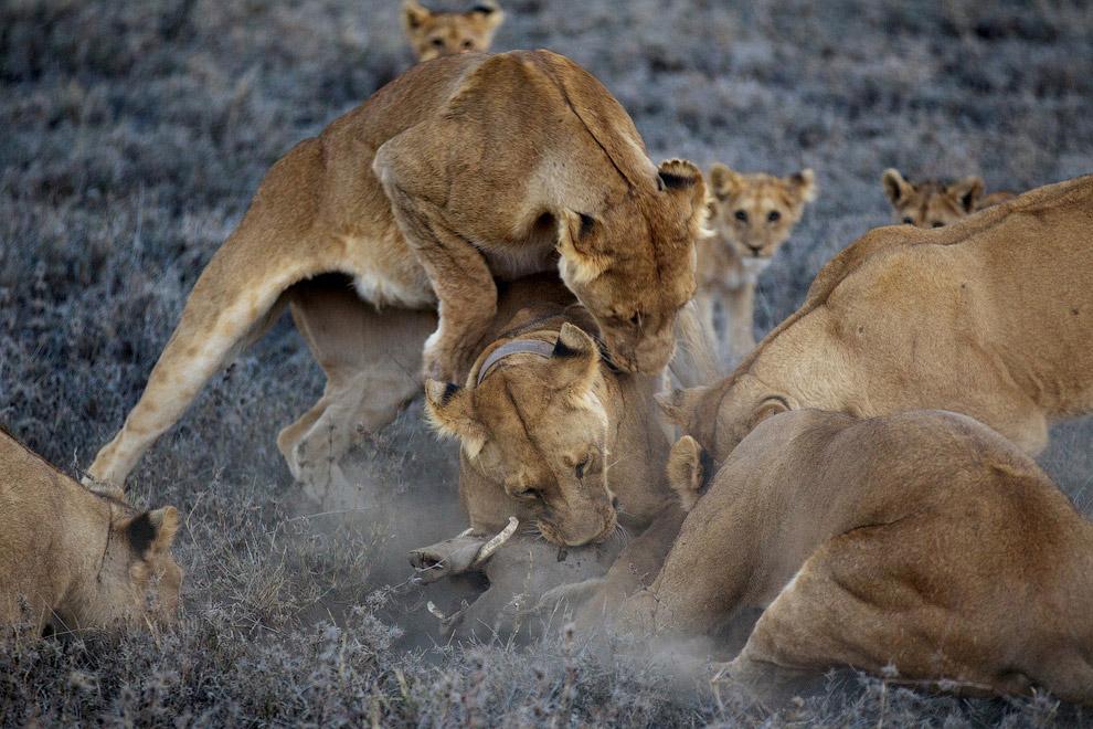 Львы поймали африканского бородавочника