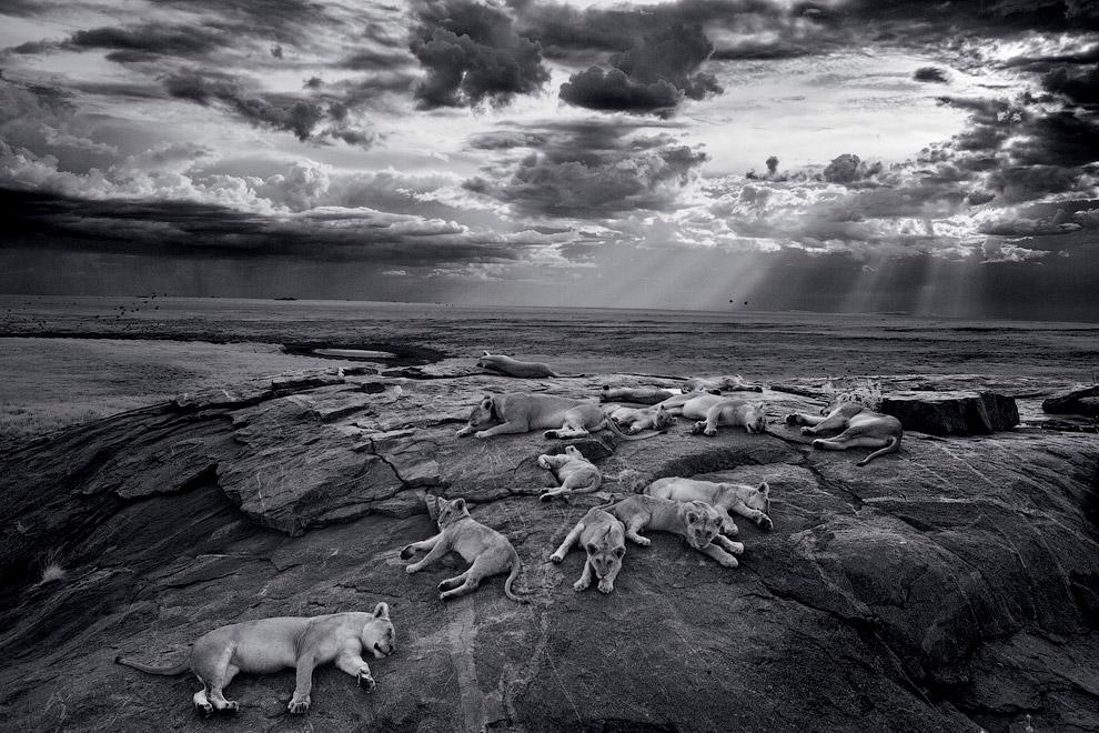 Пиршество для львов начинается с приходом сезона дождей: свежая зеленая трава привлекает огромные стада антилоп гну в эти края