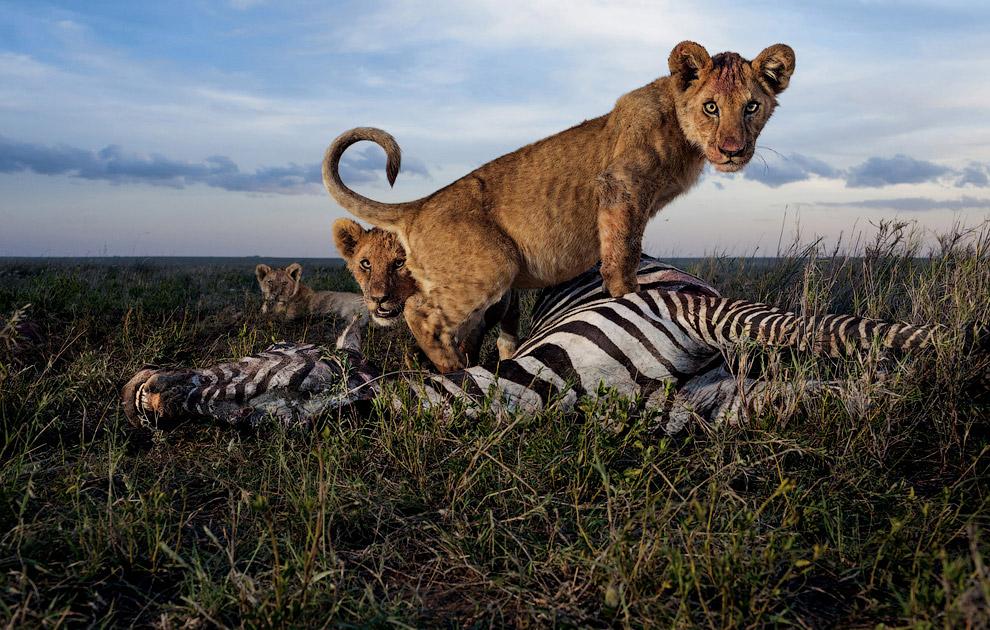 Детеныши еще слишком малы, чтобы охотиться, но достаточно взрослы, чтобы есть мясо