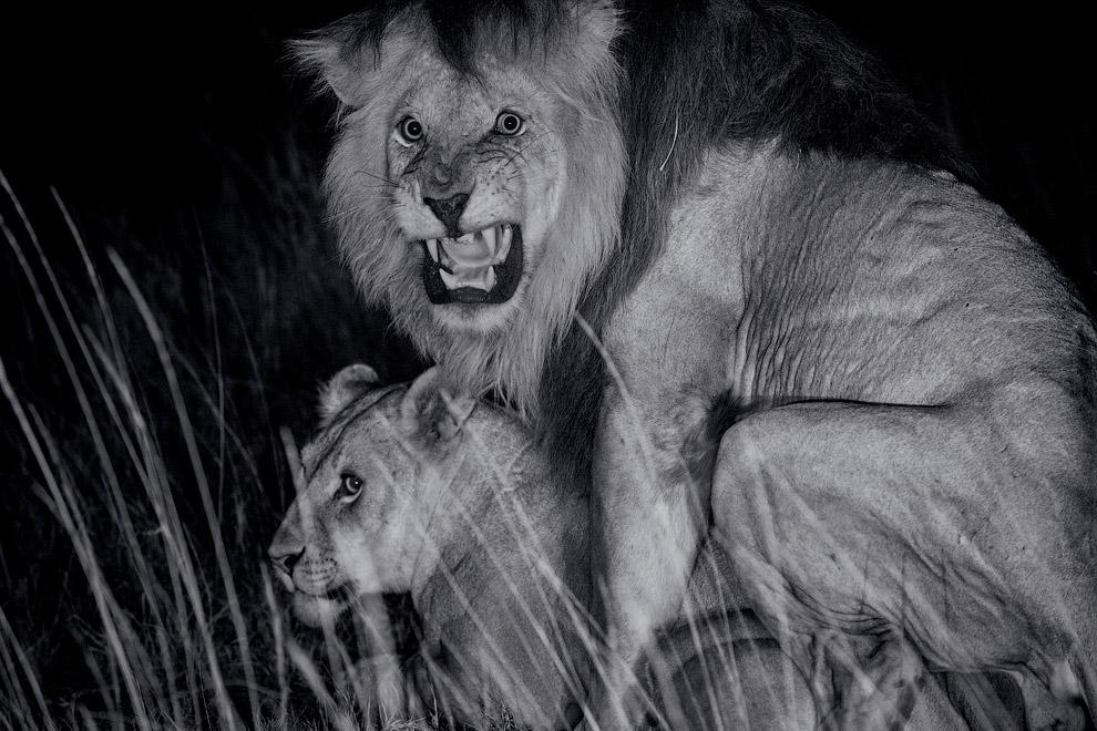 Пикантный момент. В будущем на место льва-отца могут прийти другие самцы, и тогда они убьют чужих детенышей