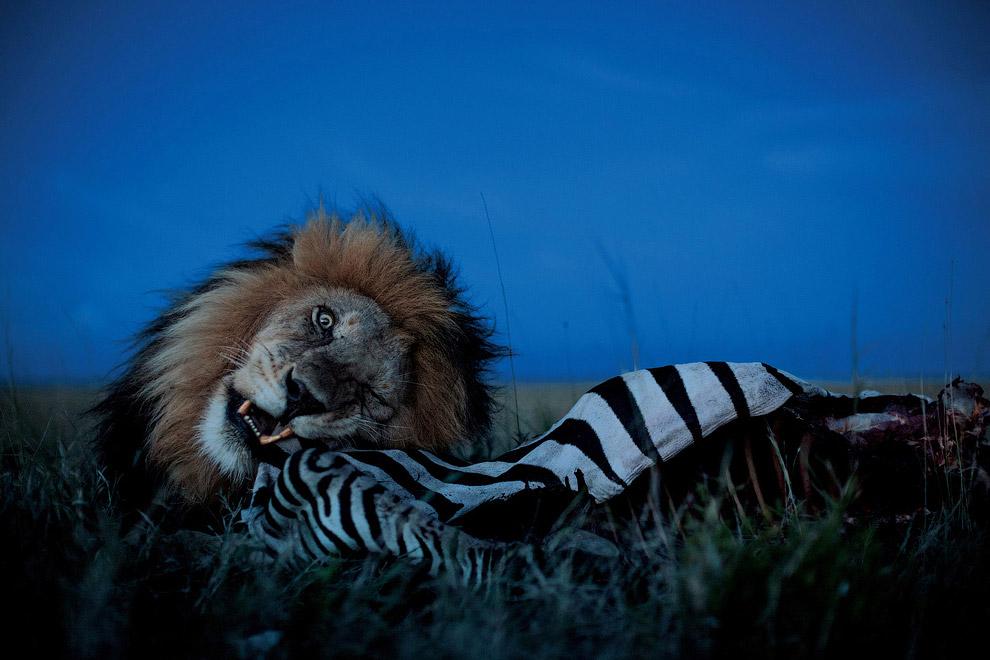Самцы, как правило, в охоте не участвуют, за исключением тех случаев, когда жертвой является крупное животное — например, жираф или буйвол