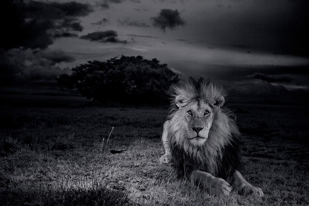 Львы являются сверххищниками, то есть занимают верхнее положение в пищевой цепи
