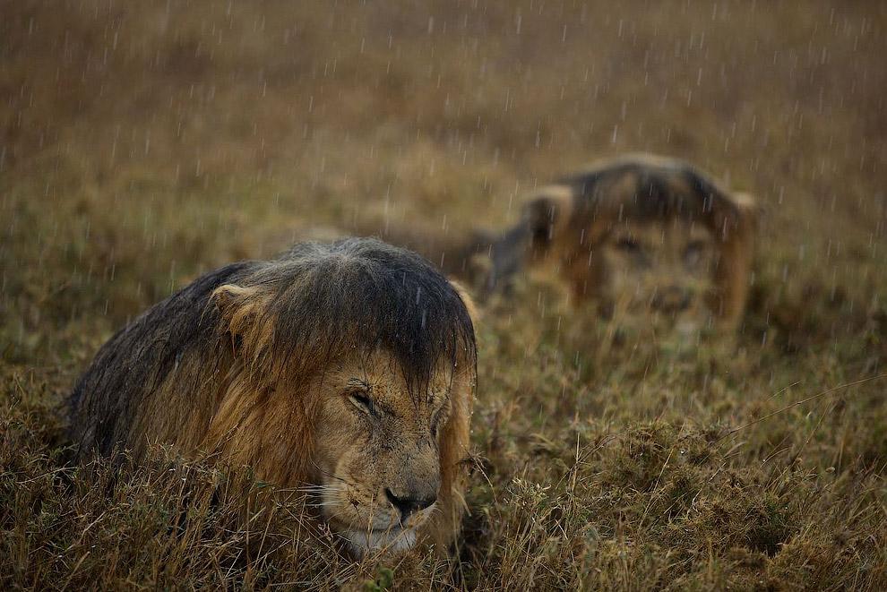 А мокрый лев выглядит довольно потешно
