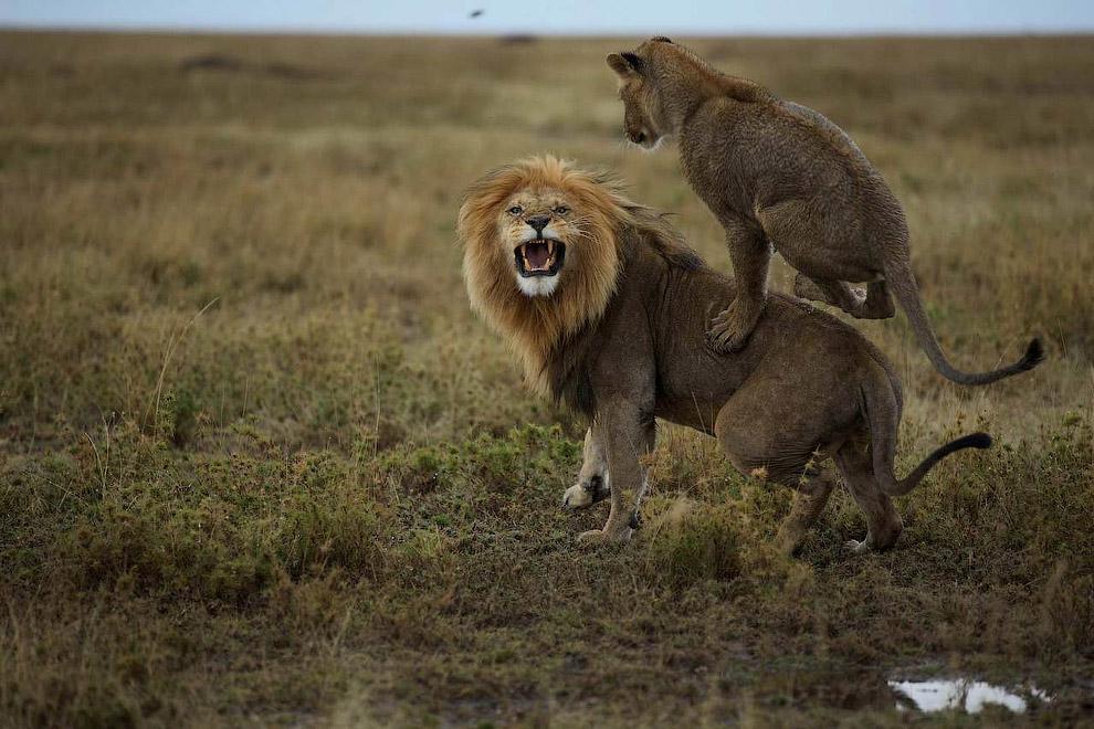 Детеныш играет с папой-львом