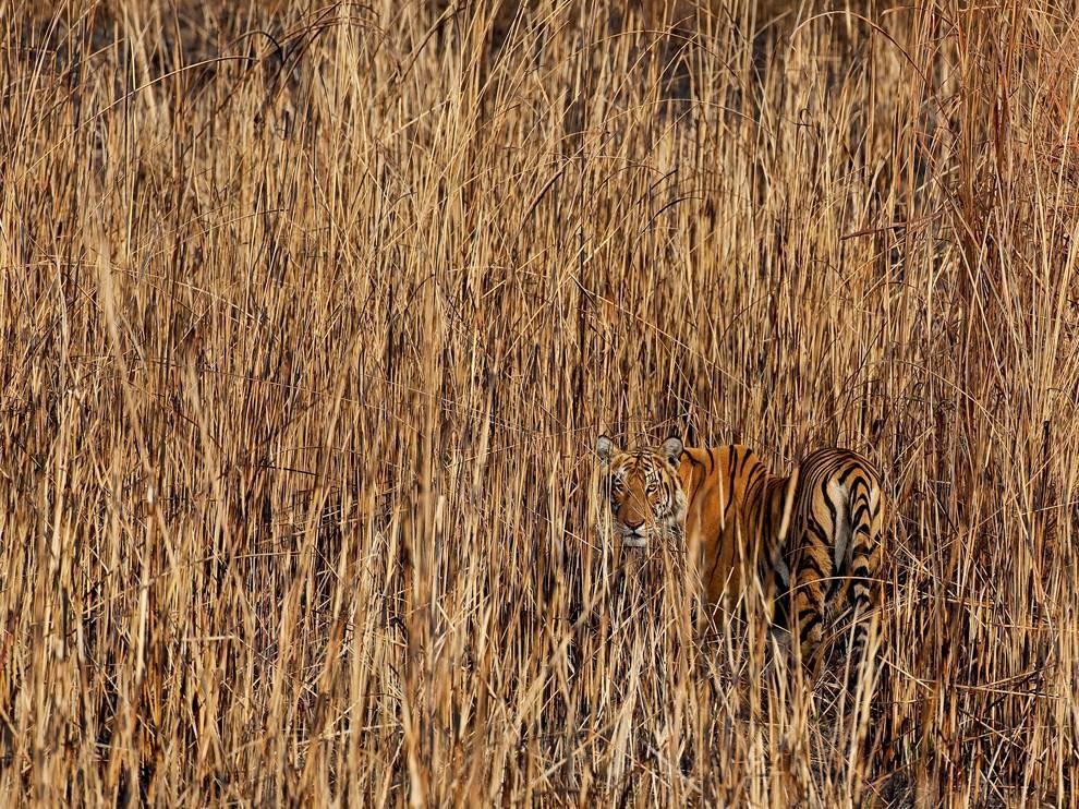 Тигр в долине Брахмапутры