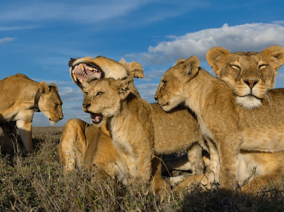 Львиные «ясли», Серенгети
