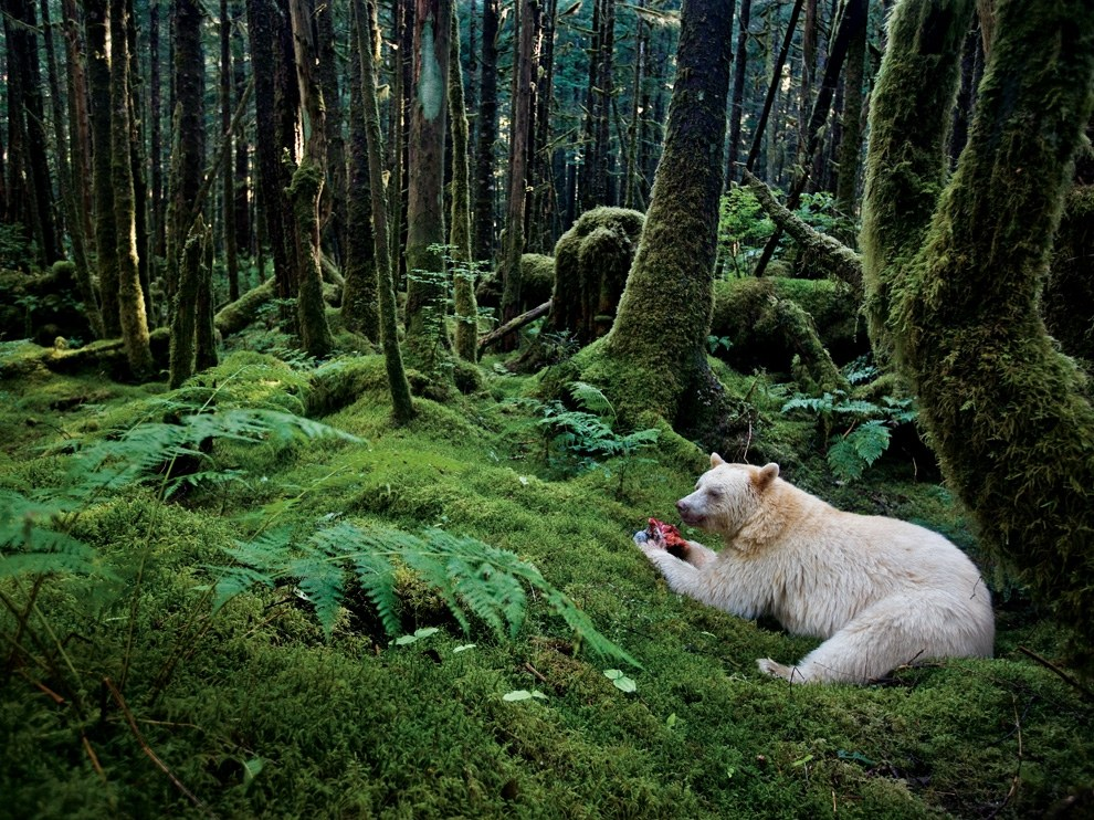 Медведь-призрак, Канада