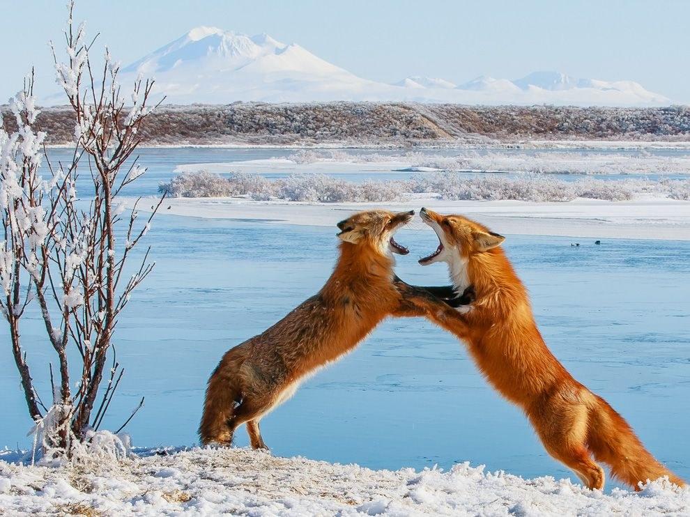 Лисий спарринг на Аляске