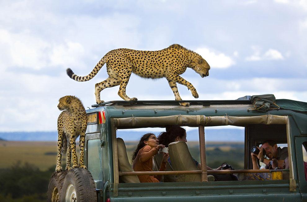 3 место. Гепарды и туристы