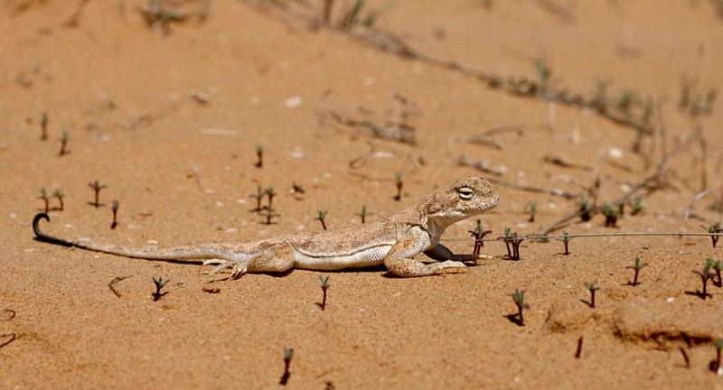 Круглоголовка — вертихвостка