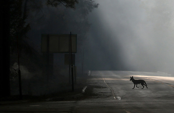 Койот перебегает дорогу