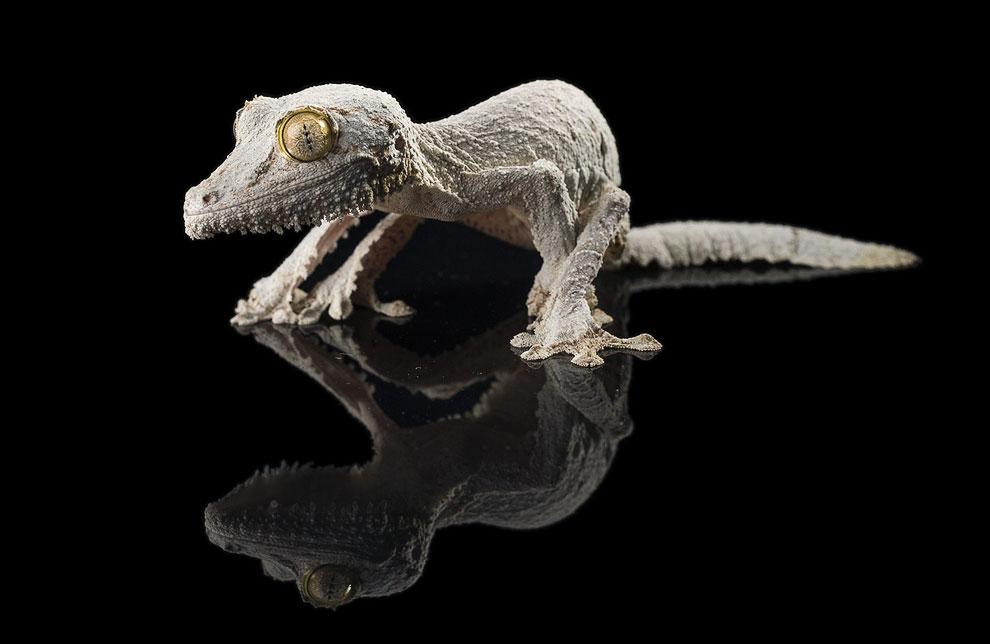 Мшистый плоскохвостый геккон, принадлежит к группе гекконов, живущих на Мадагачкаре