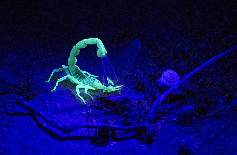 При ночном обследовании пустынь с помощью ультрафиолетовой лампы можно с легкостью находить скорпионов. Они попросту светятся в ультрафиолете