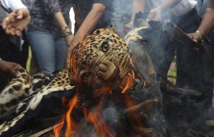 Чиновники и активисты из фонда защиты дикой природы сжигают контрабандные шкуры леопардов и тигров, Мумбаи, Индия