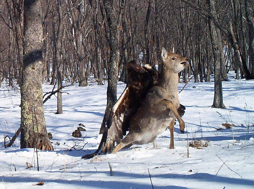 Этот  снимок сделан в Лазовском государственном природном заповеднике на Дальнем Востоке России в момент, когда беркут атаковал оленя, впившись в него мощными когтями
