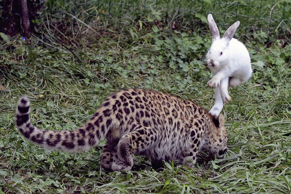 В парке дикой природы в Циндао, провинция Шаньдун, Китай решили протестировать дикие инстинкты пяти-месячного детеныша леопарда