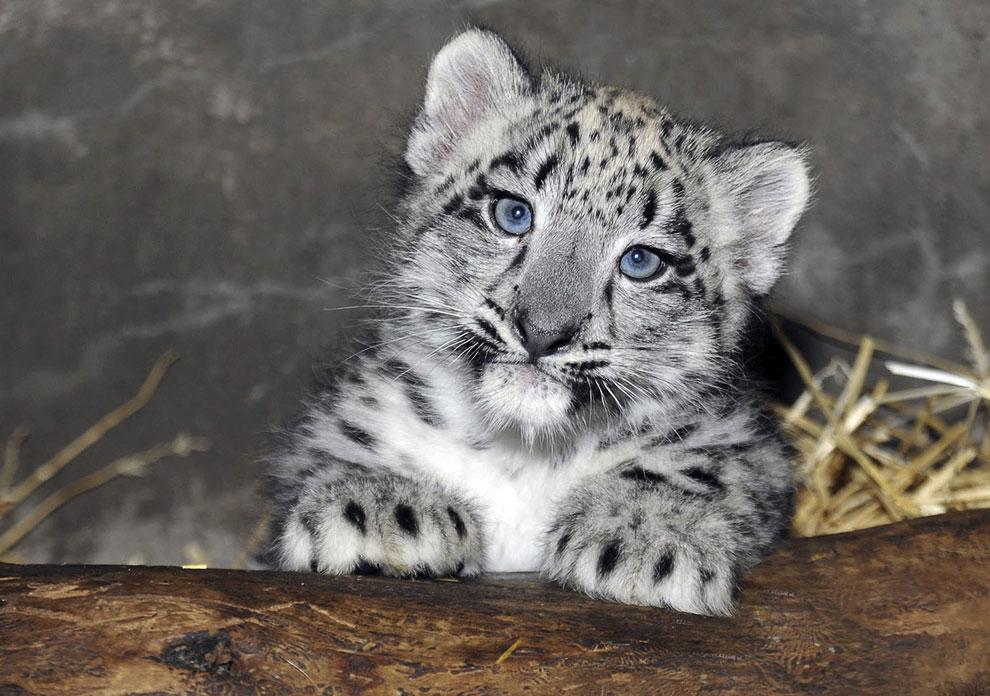 Это 2-месячный детеныш снежного барса, он родился 13 июня 2013 в зоопарке в городе Брукфилд, штат Иллинойс