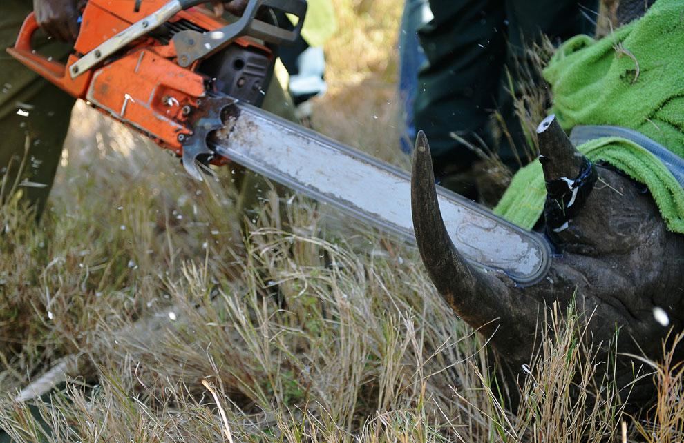 Ветеринары из службы охраны дикой природы Кении удаляют рог у дикого черного носорога