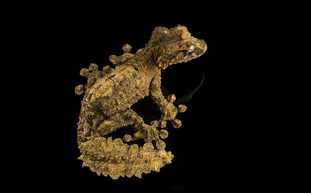 Мадагаскарский плоскохвостый геккончик