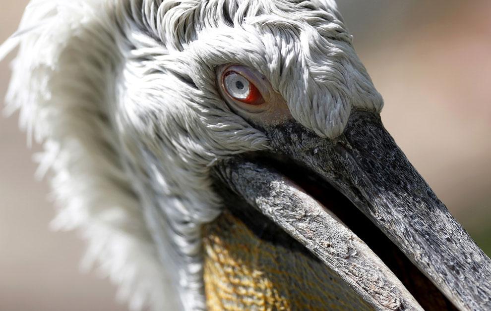 Пеликан в зоопарке возле города Мехелен, Бельгия