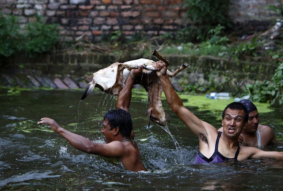 Еще одни странные соревнования проходили на этот раз в Непале, 23 августа 2013. Их суть состоит в следующем: козу бросают в пруд, и побеждает та команда, которая первой ее достанет