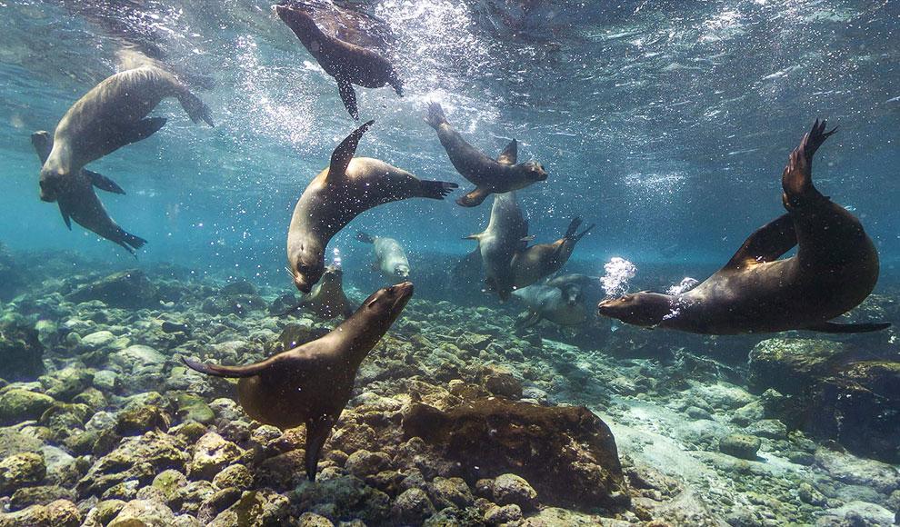 Галапагосские морские львы