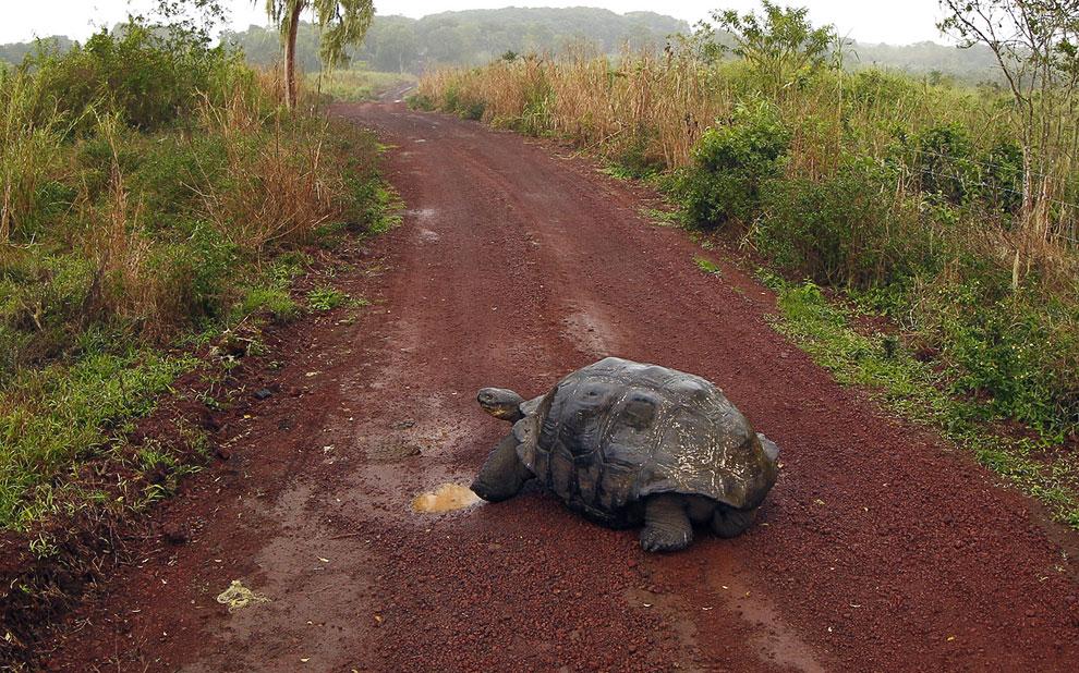 Черепахи-гиганты Галапагосских островов