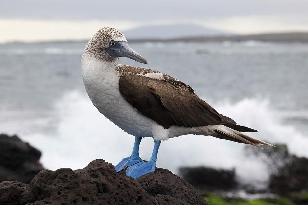 Символ Галапагосских островов — Голубоногая олуша