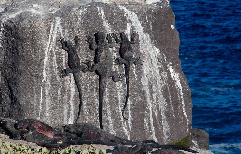 Удивительно, как морские игуаны умеют висеть на отвесных скалах и камнях