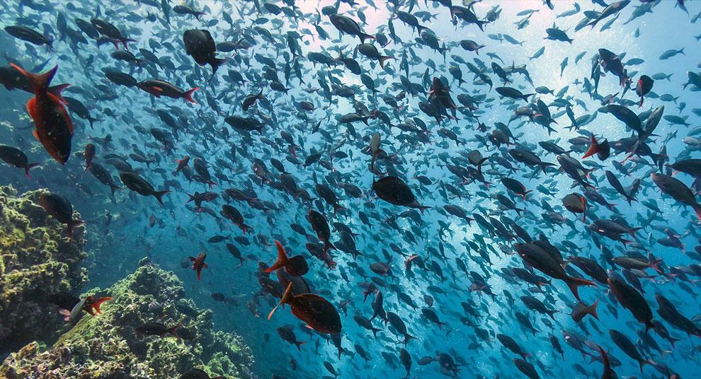 Стая рыб у острова Флореана