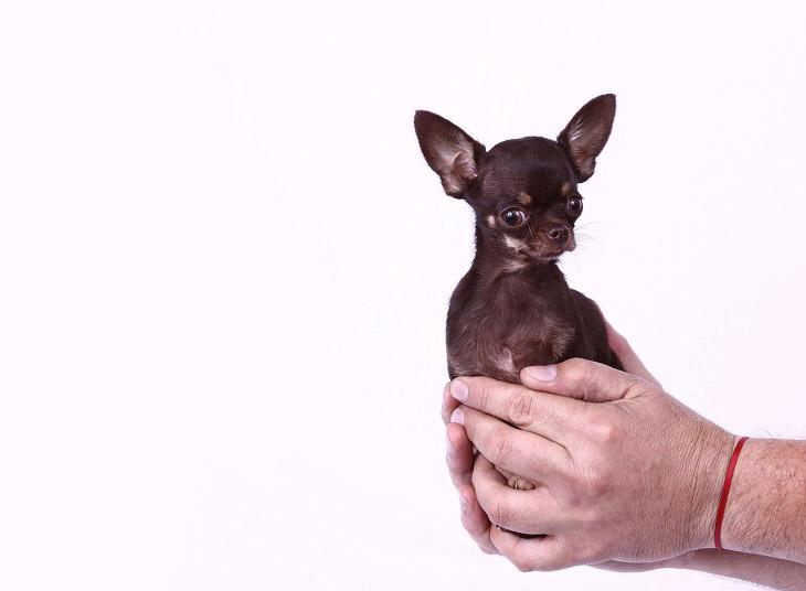 Самая маленькая в мире собака — чихуахуа по кличке Милли из Пуэрто-Рико