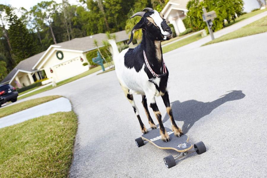 Коза-скейтбордист