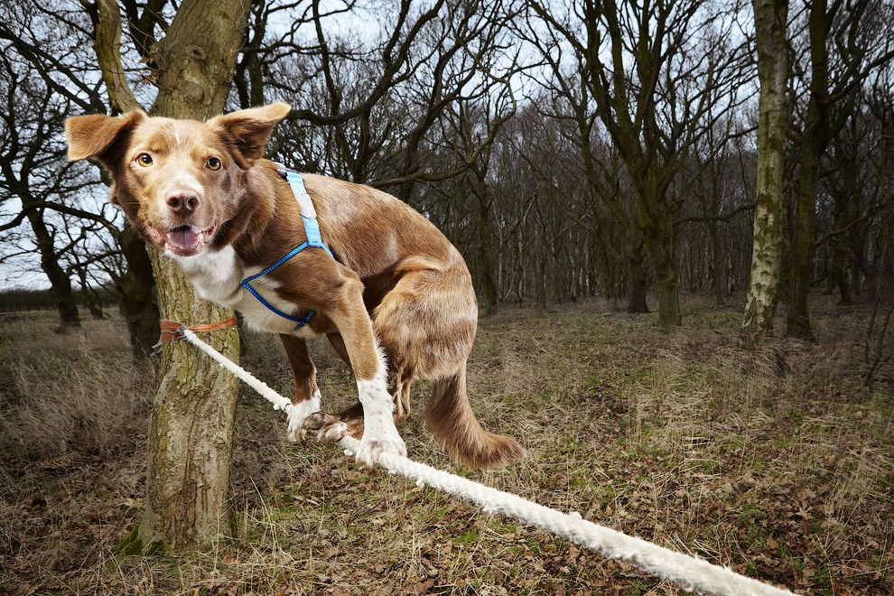 Собака-канатоходец