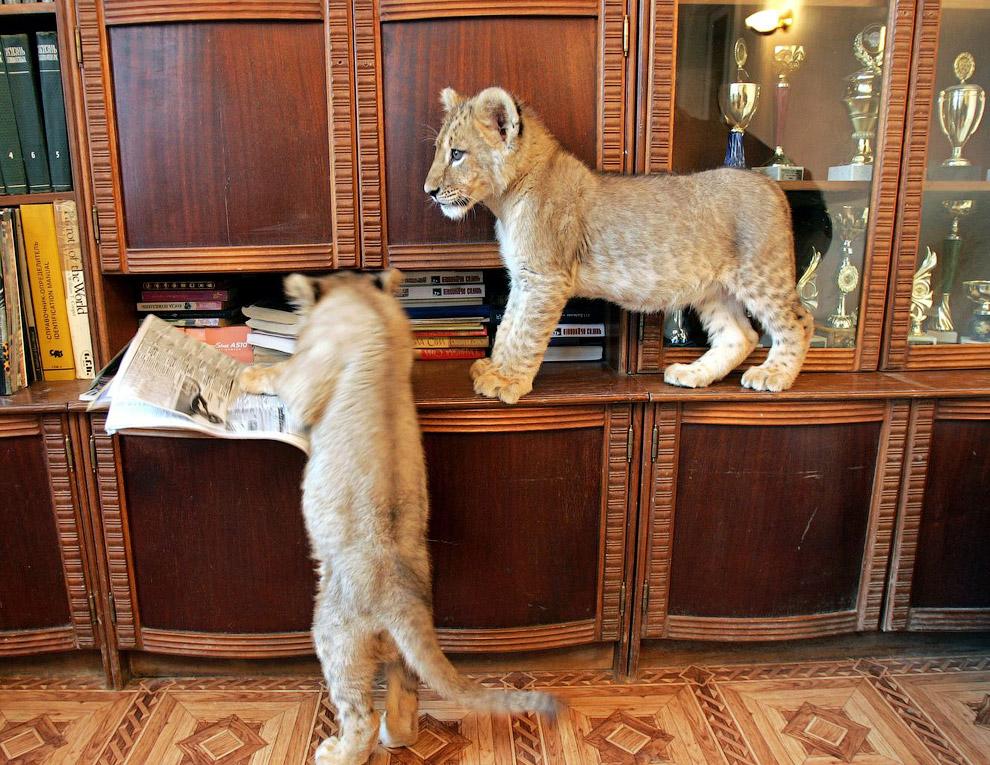 Домашние львята в квартире в Харькове