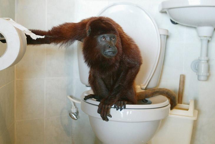 Например, красный реву — один из видов широконосых обезьян