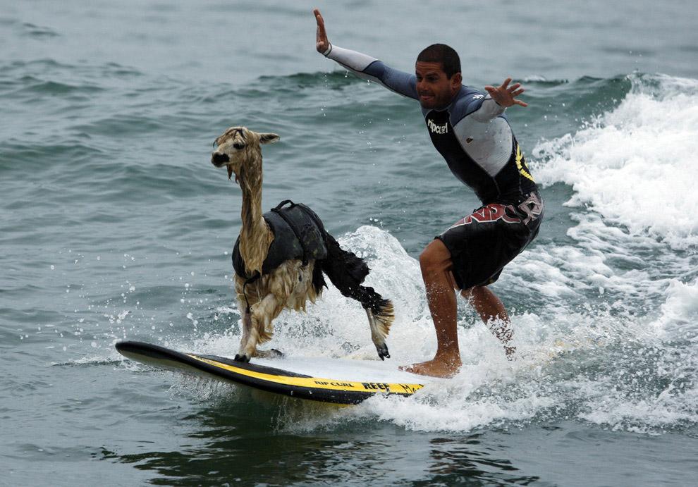 С альпакой можно позаниматься серфингом
