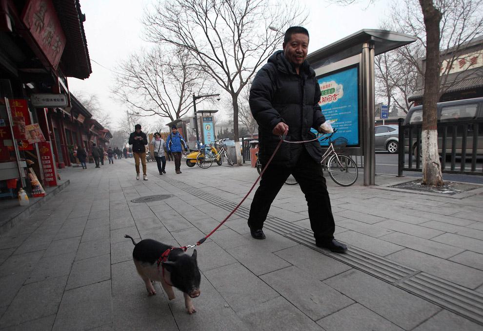 Прогулка с домашней свиньей на поводке