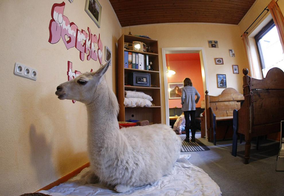 Домашняя лама