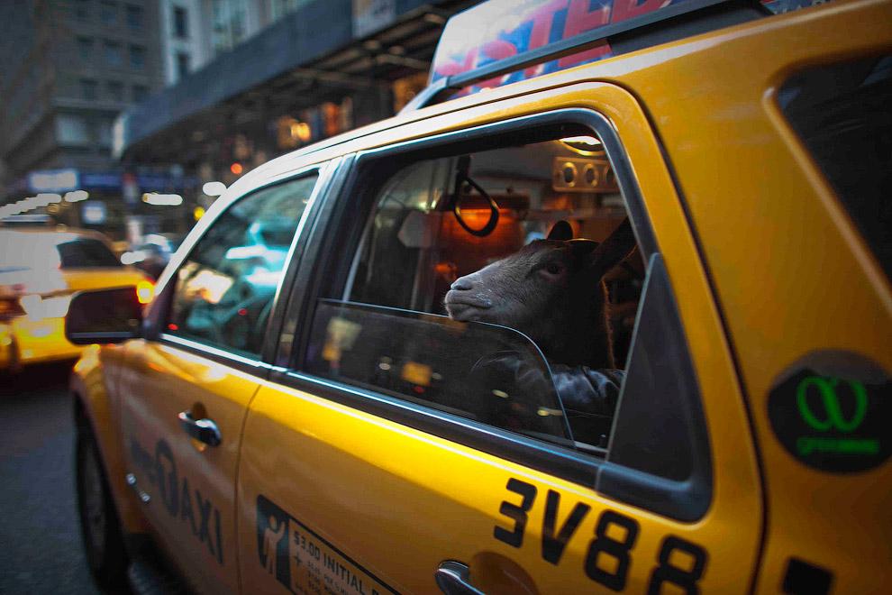 С домашней козой в такси в Нью-Йорке