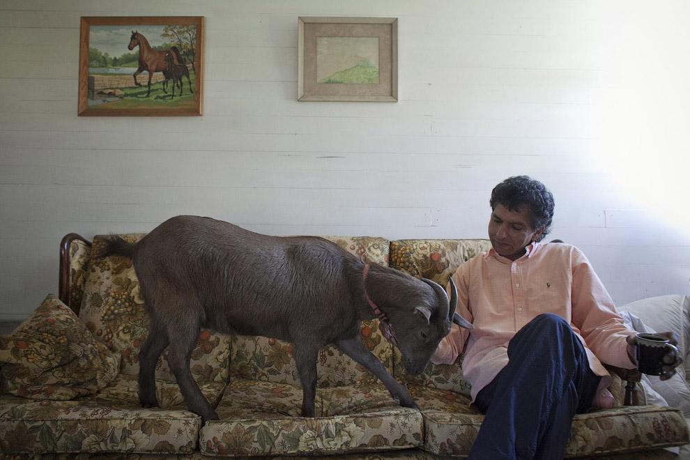 Еще одна домашняя коза по кличке Какао