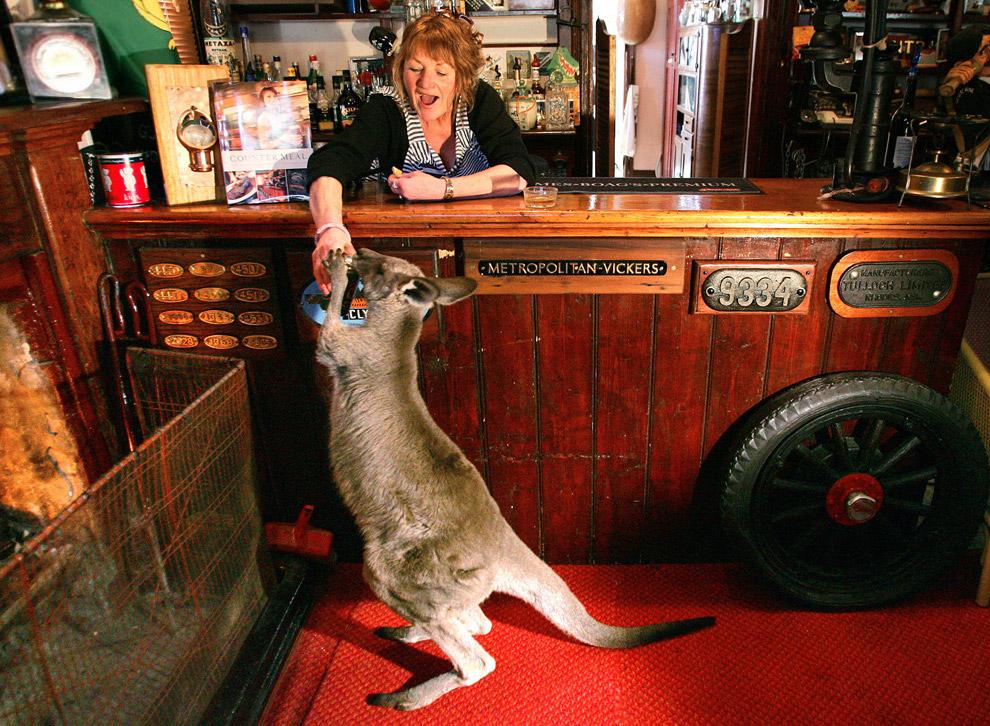 Кенгуру берет банку пива в баре