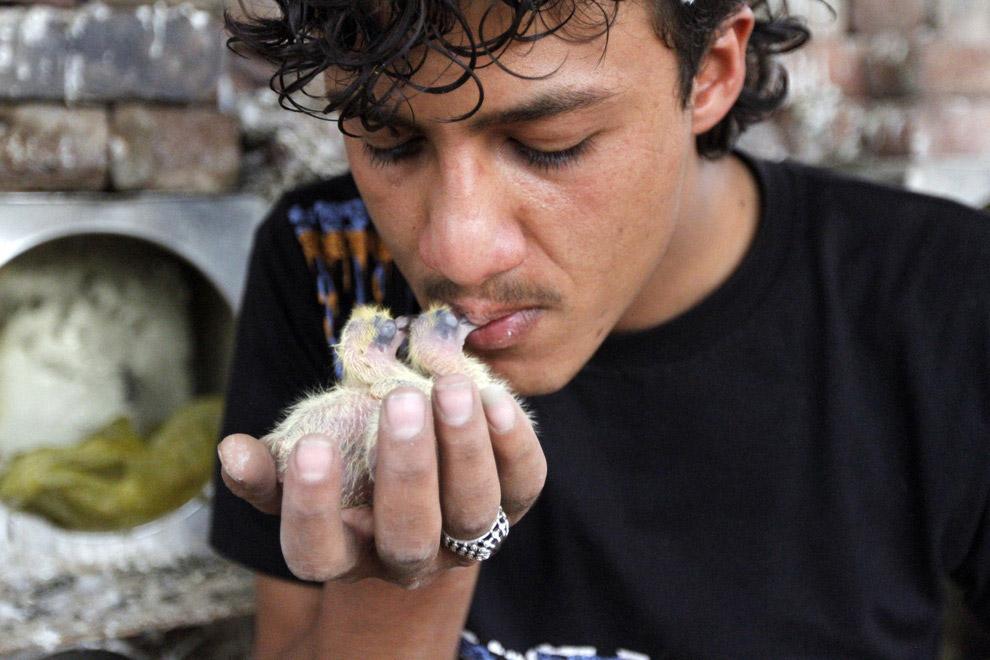 Хозяин кормит изо рта своих птенчиков