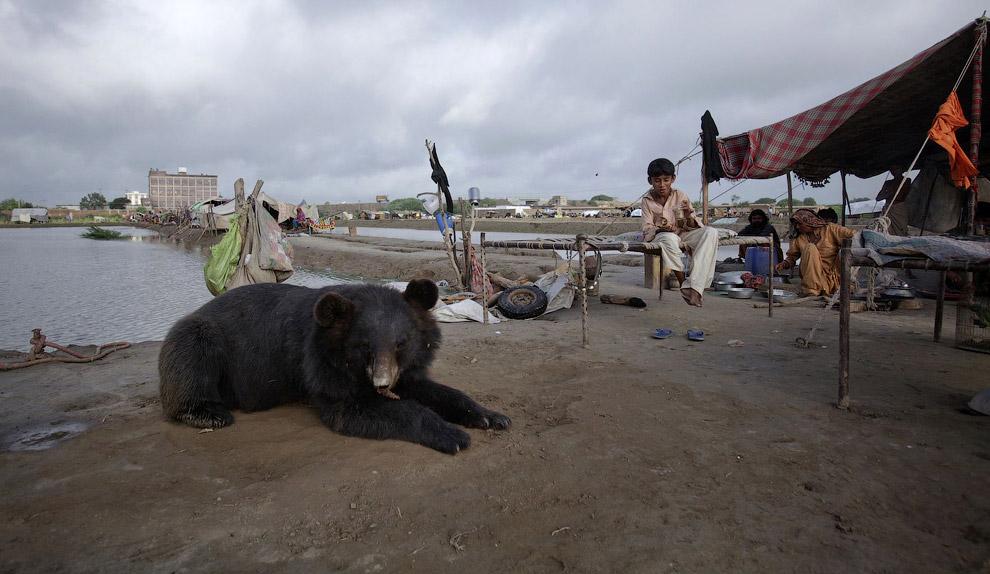 Домашний медвежонок из Пакистана