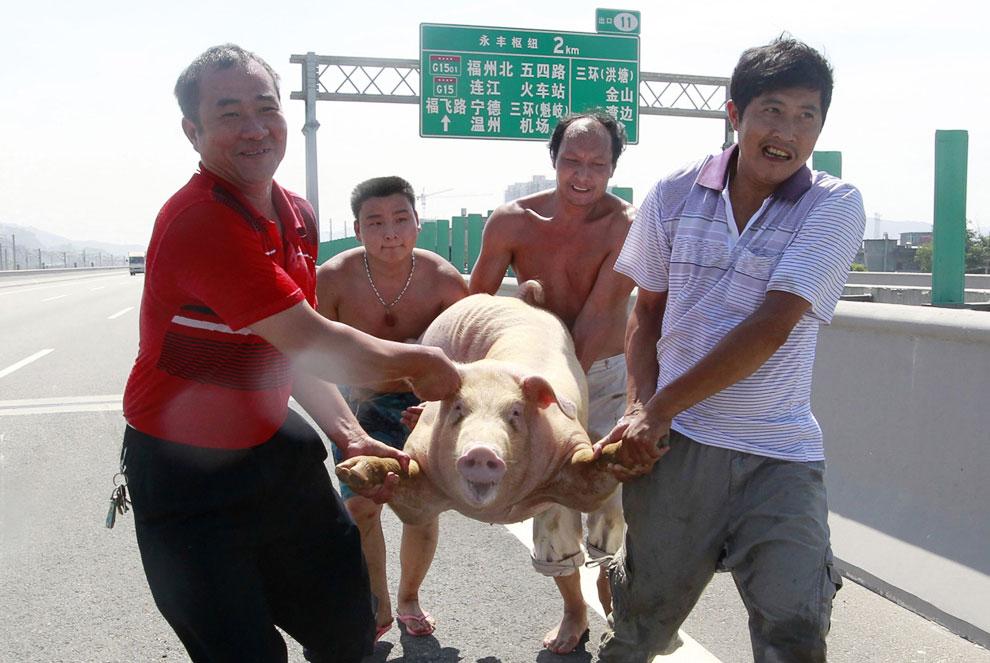На шоссе в Фучжоу в провинции Фуцзянь перевернулся грузовик, перевозящий свиней
