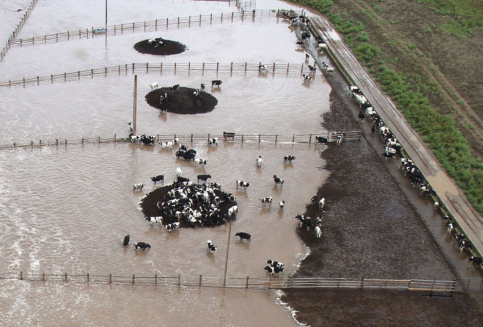 Коровы на ферме спасаются от воды на сухих островках, Колорадо